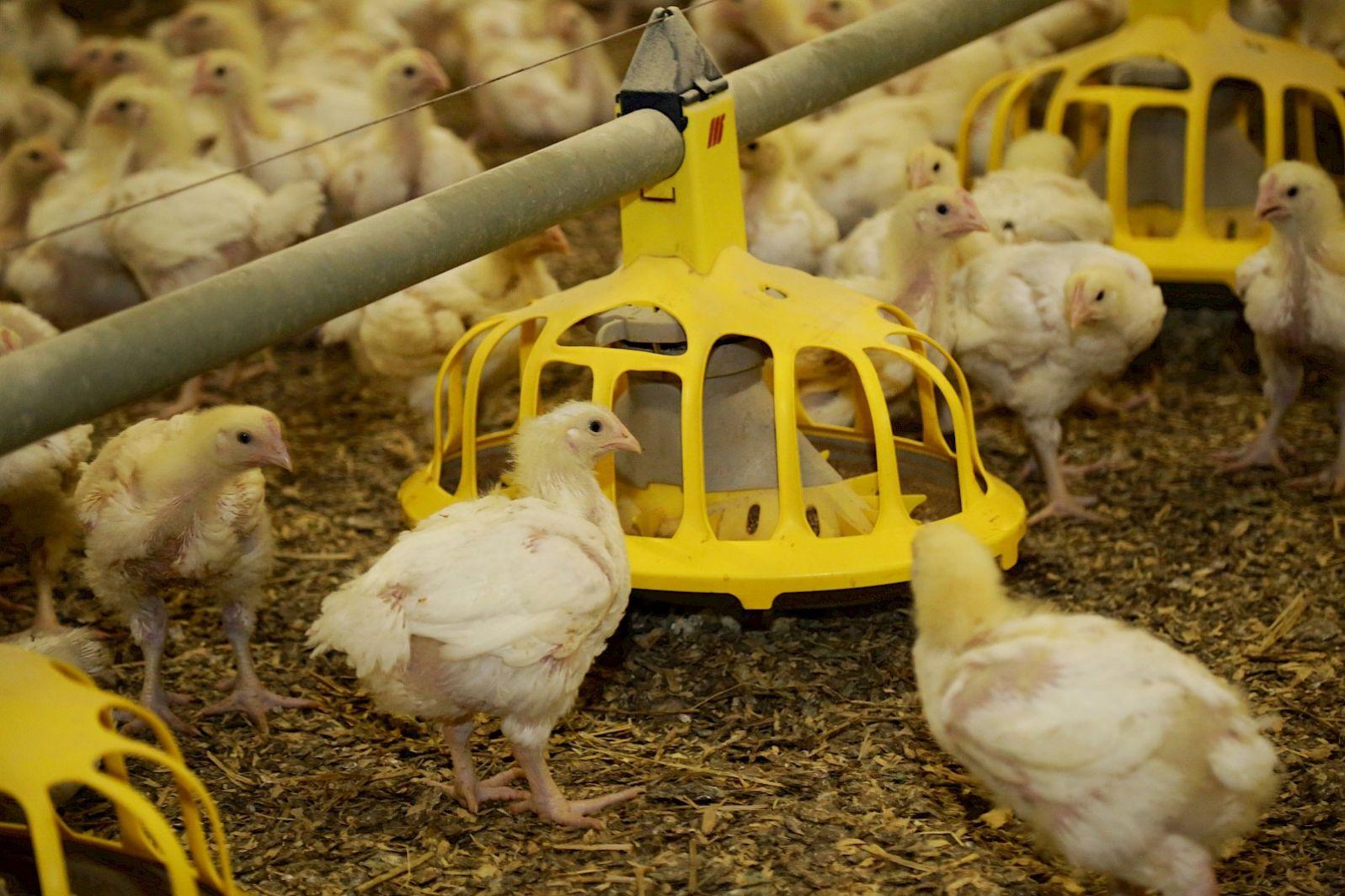 Saldo vleeskuikens daalt met 80 procent naar dieptepunt
